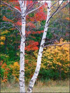 BIRCH TREE  Ontonagon, Michigan