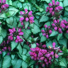 Lamium maculatum 'Purple Dragon' - Google Search