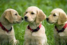 Drei junge Golden Retriever auf einer Wiese.