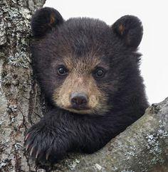 Black bear by Daniel Parent