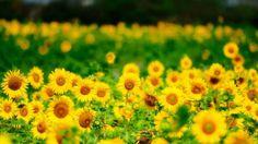 Summer Yellow Sunflowers