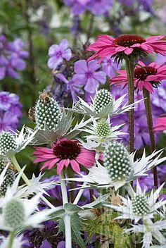 Echinacea, Eryngium and Phlo #purple #flowers #garden