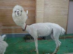 And remember this picture of a shaved llama: | 27 Things To Keep In Mind If You're Having A Bad Day