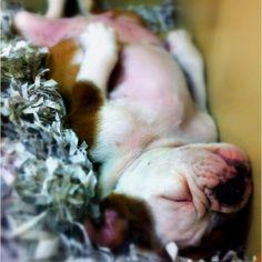 My dream dog! Adorable!