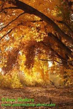 Fall colors in the Bosque by the Rio Grande, Albuquerque, NM.  IMG_E_29212 by The Bright Edge - Photography by Anne Slattery, via Flickr