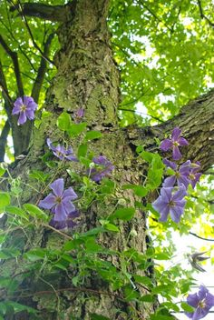 Tips to start a magnificent clematis growing up your tree.