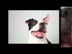 VIDEO: Pit Bulls & Pit Bull Type Dogs