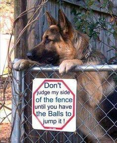 """Obtain wonderful tips on """"German Shepherd puppies"""". They are actually available for you on our website. Funny Animal Memes, Dog Memes, Funny Animal Pictures, Cute Funny Animals, Funny Dogs, Animal Jokes, Animal Humour, Animal Pics, Funny Memes"""