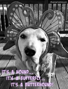 It's a Hound... It's a Butterfly... It's a Butterhound! Happy Spring from Sophie ©LapdogCreations Dog Mom | Dog Products | Life with Dogs | Rescue Dog | Pet Adoption | Senior Dog: