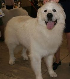 The Great Pyrenees A working class dog that guards flocks in the mountains. Easily resembles the Golden Retriever but is much larger and is usually white. Old English Sheepdog Another herding dog, known for Top Dog Breeds, Great Pyrenees Dog, Old English Sheepdog, Working Dogs, Working Class, White Dogs, Mountain Dogs, Dogs And Puppies, Doggies
