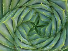 Spiral Aloe (aloe polyphylla) - up close and personal Cacti And Succulents, Planting Succulents, Garden Plants, Cactus, Flora Grubb, Growing Greens, Love Garden, Garden Ideas, Patterns In Nature