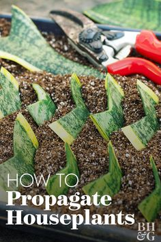 To propagate a snake plant cut a leaf into sections. Dip bottom ends in rooting powder; insert in moist rooting medium. To propagate a snake plant cut a leaf into sections. Dip bottom ends in rooting powder; insert in moist rooting medium. Succulents Garden, Garden Plants, Planting Flowers, Outdoor Plants, Potted Plants, Flowering Plants, Plant Cuttings, Snake Plant Propagation, Inside Plants