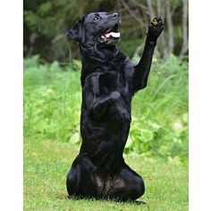 """Bear with us as we do a double take ... is this a bear saying """"Hi ya Friday"""" or a black Labrador? Congratulations Doris / @sofiashundar you are the Labrador of the Day. #hiyafriday #doubletake #youdecide #dogorbear  Interested in a feature? Follow @labradoroftheday and tag pictures with #labradoroftheday and you may be selected as either Labrador of the Day or a newsworthy feature. :) #labrador #hereslookingatyou #CurePetCancer by labradoroftheday"""