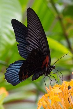 Great Mormon Butterfly (Papilio memnon agenor)