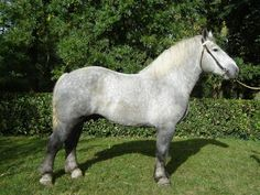 Horse ABC: Percheron Clydesdale, Percheron Horses, Most Beautiful Animals, Beautiful Horses, Shire, Different Horse Breeds, Pig Breeds, Cowgirl And Horse, Horse Riding