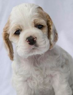 Cocker Spaniel puppy wants to snuggle
