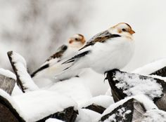 Spring may be a little slow in coming this year, but these Snow Buntings are enjoying the weather! Captured by Isabelle Marozzo for the Birds & Blooms monthly photo challenge.