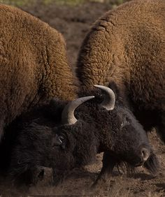chillypepperhothothot:    American Bison - Bison bison by ER Post on Flickr.
