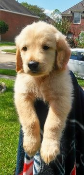 Golden Retriever Puppy For Sale In Missouri City Tx Adn 47028 On