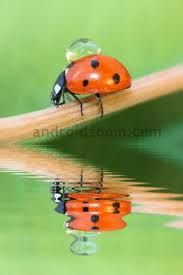 Reflection I remember as a child loving to hold and then release lady bugs.They are so beautiful.