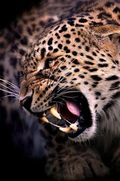 resultado de imagen para leopardo rugiendo animales