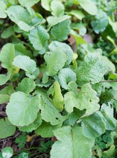 groundcover-layer-clover-mustard-cover-crop