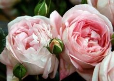Pink garden roses for bouquets and centerpieces - voyage