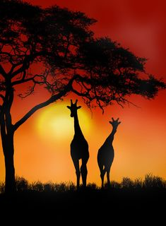 Giraffe Sunset somewhere in Africa. Really gives you the go to plan you next holidays on a safari tour. Giraffe Silhouette, Silhouette Painting, Afrika Tattoos, Giraffe Pictures, Afrique Art, African Art Paintings, Silhouette Photography, Beautiful Sunset, Black Art