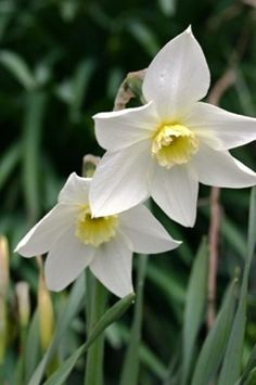 Narcissus White Lady