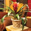 Guzmania-This member of the pineapple family has stiff glossy green, toothed foliage arranged in an upright vase shape. A shoot with colorful bracts arises from the center of the vase. The bright blooms may remain attractive for up to six months. Guzmania likes warm temperatures during its growth cycle, but bracts will last longer if you keep the plant cool while it is in bloom.