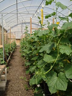 Greenhouse cucumbers grown aquaponically