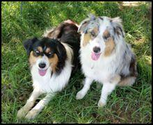 HoneyCreek Australian Shepherds: Daisy's litter June 2020 Australian Shepherds, Corgi, Daisy, June, Animals, Aussie Shepherd, Corgis, Animales, Animaux