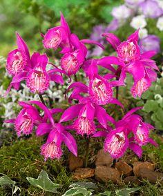 Tibetan Peacock Orchid - Pleione tongariro