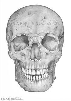 SKULL [Anatomy series] by Sara Elan Donati, via Behance :: #illustration #skull #drawing #anatomy #saraelan #saraelanillustration #lezionidianatomia #anatomylessons