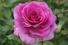 Zulu Royal | Ludwigs Roses : The buds are pointed  open into large blooms of symmetrical, exhibition shape. The colour is a blend of deep mauve with silver-lilac. The bush is vigorous  provides a constant supply of pickable flowering stems.