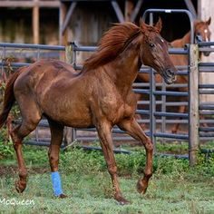 Children of Secretariat: how a mare left to starve became the Queen of Alabama | Topics: Secretariat | Thoroughbred Racing Commentary