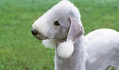 Bedlington Terrier dog- I think I may name mine Baa Baa Ann