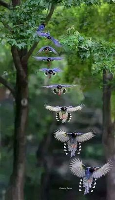 A team of Blue Jays flying in formation through the forest canopy.