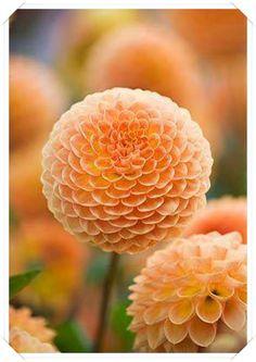 Yıdız Çiçeği