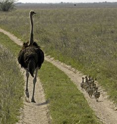 Mother Ostrich ...and family.... Flickr - Photo Sharing!