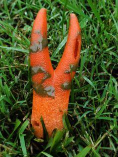 Devils stinkhorn mushroom ~ By Bukowski