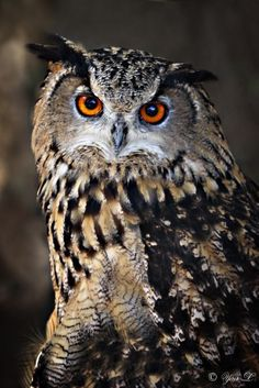 Bubo bubo - Eurasian Eagle Owl by Yair-Leibovich