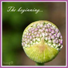 LÖwin.g: Allium ... die lustigste Blüte...