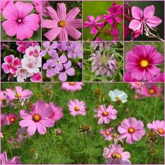 Wildflower Pink Shades Mix Seeds (200+Seeds)