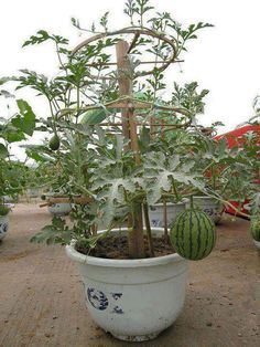 DIY: grow watermelon in a container. Or maybe pumpkins?