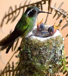 """This sweet pic of two baby hummingbirds reminds me of my boys when they were tiny, and this (funny) Bible verse: """"The leech has two daughters. 'Give! Give!' they cry."""" -Proverbs 30:15"""