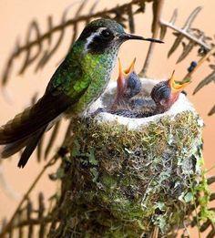 Baby Hummingbirds...so sweet