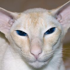Attention People with Cat Allergies: You Can Own One of These Breeds! Colorpoint Shorthair, Laperm, Hypoallergenic Cats, Ocicat, Cat Toilet Training, Cat Allergies, Oriental Cat, Cornish Rex, Unique Cats