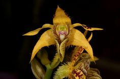 Dendrobium polysema (Syn. Dendrobium stenopterum) - Flickr - Photo Sharing!