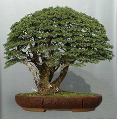 (via bonsai-fachforum.de • Thema anzeigen - Bergfichte)